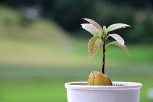 Growing avocado in New Zealand